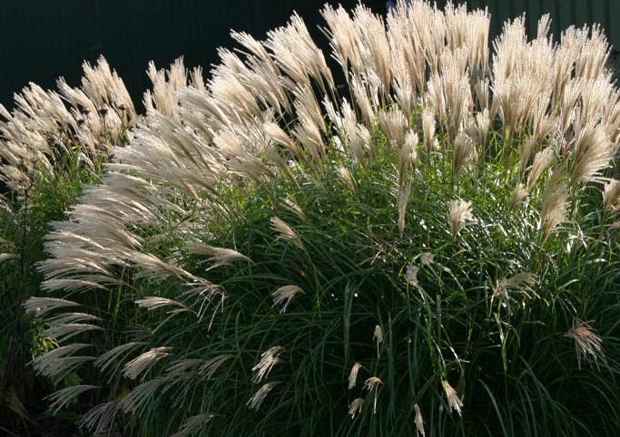 Цветы мискантус