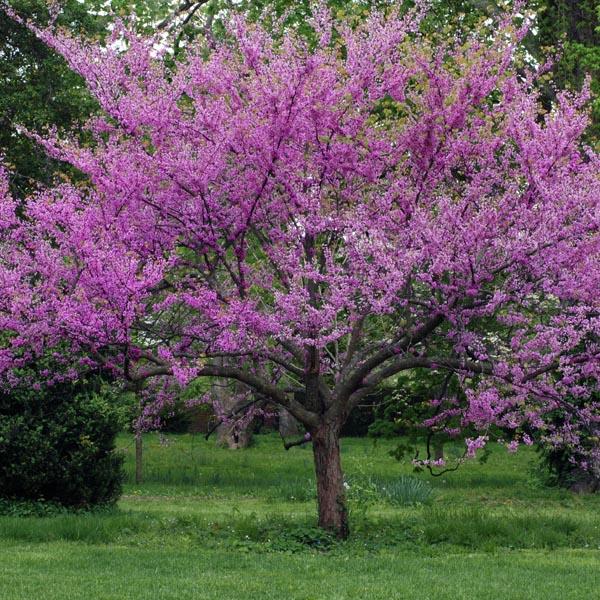 Цветы церцис